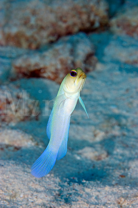 Yellowhead Jawfish (Opistognathus aurifrons) in sand at Cayman Brac, Cayman Islands