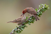 House Finch (Carpodacus mexicanus frontalis), adult male feeding a begging juvenile.
