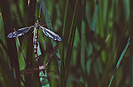 Estuaries, Crane flies, mating, Skagit River estuary, Puget Sound, Washington State, Pacific Northwest, USA