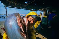 Gill net fisherman carries finned pelagic thresher shark, Alopias pelagicus, Huatabampo to butchering table., Mexico, Sea of Cortez, Pacific Ocean