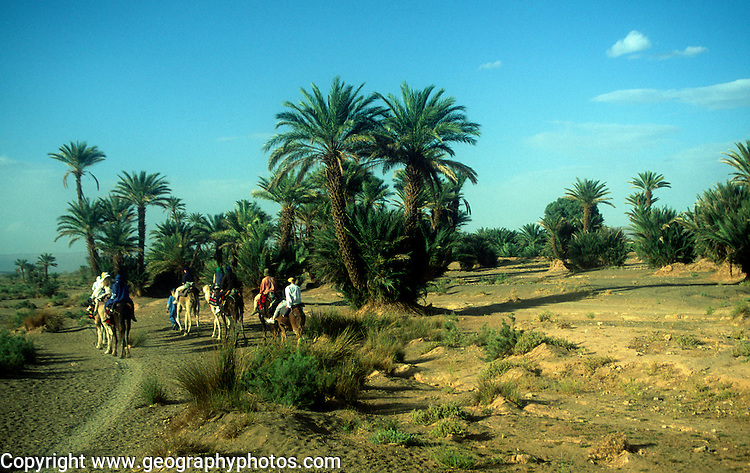 Camel trekking through palm trees in Sahara desert, Zagora, Morocco