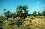 Camel trekking through palm trees in Sahara desert, Zagora, Morocco