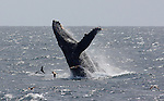humpback whale, dolphin