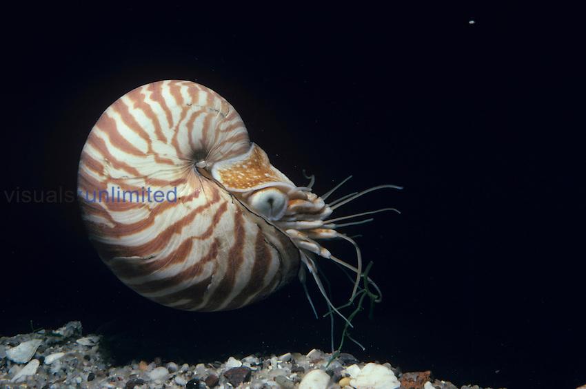 Chambered Nautilus ,Nautilus pompilius, Coral Sea, Australia.