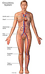 This stock medical image shows major components of the circulatory system anatomy, including the following labeled structures: heart, aortic arch, abdominal aorta, iliac arteries, femoral artery, popliteal artery, and tibial arteries.