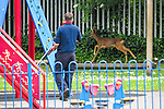 "Stockport , UK . Collect photograph of veterinary surgeon SIMON CONSTABLE carrying a tranquiliser gun in the playground as the deer runs in the background , taken by "" The Hind's Head "" pub landlord , Stuart Kirkham , who named the deer Ronaldo . A wild deer which was discovered in a park by the busy Manchester Road in Stockport has been rescued after three days . The park was closed and locked by Stockport Council officials on Monday 24th June after the young male started bolting across the playing field and playground and butting its head and antlers against railings . But with the gates locked , the young animal could not escape . For three days local people came out to watch the deer from the fence as it hid in bushes around the edge of the park , occasionally venturing out across the playing pitch and in the direction of the busy A626 road . The landlord at "" The Hind's Head "" pub opposite , Stuart Kirkham , a Manchester United fan , named the beast "" Ronaldo "" because of its red colouring . After three days , with no hope of escape under its own steam and with the park still closed , the RSPCA and council brought in a veterinary surgeon to help . The animal was tranquilised and driven to nearby Reddish Vale Country Park , where he was brought round and released back in to the wild ."