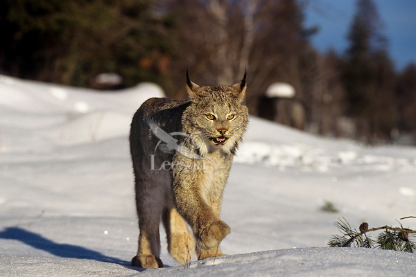 Canada Lynx (Lynx canadensis).  North America.  Winter.