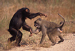 Faustino and a young male olive baboon play.Chimpanzee (Pan troglodytes schweinfurthii) Olive Baboon (Papio anubis).Gombe National Park, Tanzania