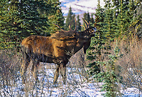 Bull moose in the snow covered boreal forest scenting for female during the rut, Denali National Park, Alaska