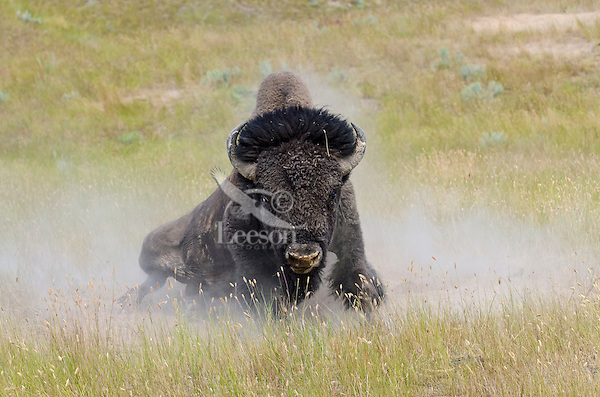 American bison (Bison bison) bull wallowing during summer mating season.  Western Plains.