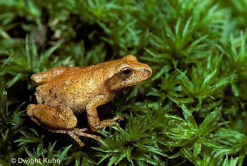 FR16-003a  Spring Peeper Tree Frog -  Pseudacris crucifer, formerly Hyla crucifer