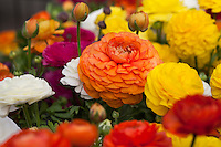 Ranunculus, flowering drought tolerant bulb 'Bloomingdale - Orange Bicolor Improved'  California Spring Trials