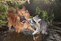 """Waschbär, verwaistes, pflegebedürftiges, in Menschenhand gepflegtes, zahmes Jungtier spielt mit Hund, spielem gemeinsam im Wasser, in einem Bach, Tierkind, Tierbaby, Tierbabies, Freundschaft zwischen Hund und Wildtier, Waschbaer, Wasch-Bär, Procyon lotor, Raccoon, Raton laveur, """"Frodo"""" und """"Laska"""""""
