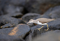 A sandpiper searches for food along a rocky shoreline.