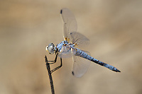 389270010 a wild male bleached skimmer libellula composita near a large pond in southern inyo county california