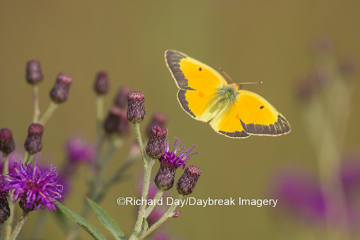 03074-00514 Orange Sulphur Butterfly (Colias eurytheme) in flight near Missouri Ironweed (Veronia missurica), Marion Co., IL