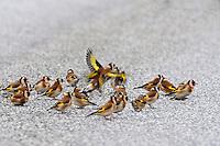 Stieglitz, Distelfink, Trupp, Schwarm, Finkentrupp, Carduelis carduelis, European goldfinch