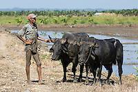 Dominikanische Republik, Reisfelder bei Nagua im Nordosten, Eggen mit Stieren
