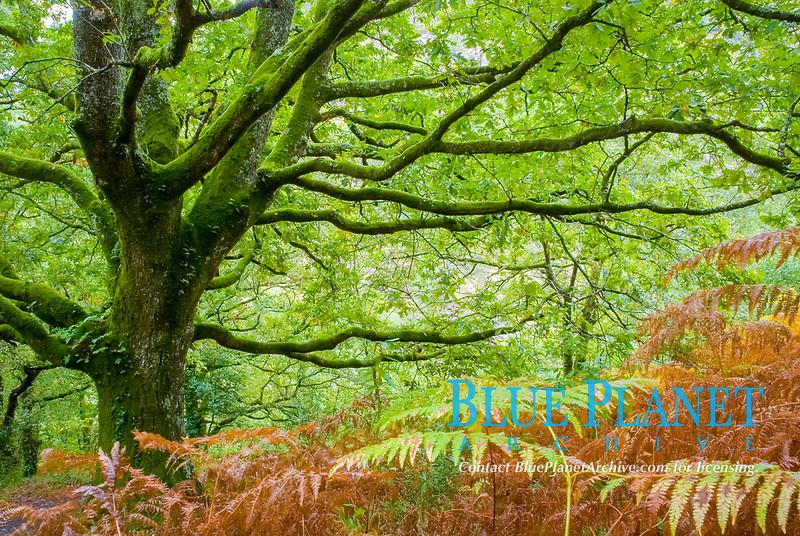 Old oak tree ( Quercus robur ) in a forest near Silleda, Pontevedra, Galicia, Spain