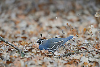 Male California Quail (Callipepla californica) looking for acorns among oak leaves, also known as the California Valley Quail or Valley Quail.  California (Pinnacles National Park).  Late winter-early spring.
