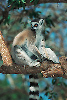 Ring-tailed Lemur (Lemur catta), adult in tree, Madagascar, Africa