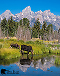 Cow and calf moose at beaver pond. Grand Teton National Park, Wyoming.