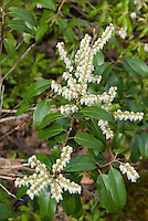 Pieris floribunda, poisonous toxic deer-proof shrub plant in spring white flowers, native andromeda