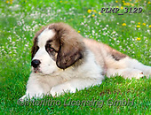 Marek, ANIMALS, REALISTISCHE TIERE, ANIMALES REALISTICOS, dogs, photos+++++,PLMP3129,#a#, EVERYDAY
