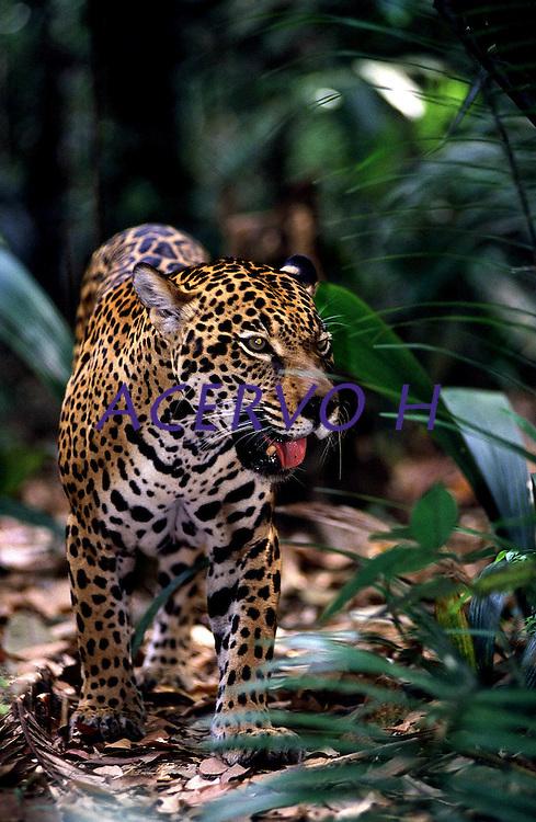 É o maior felino das Américas e o único representante atual do gênero Panthera no continente. O seu corpo é robusto, musculoso e compacto, com comprimento variando entre 1,10 a 2,41 m e massa entre 35 a 130 kg, podendo chegar a 158 kg. As fêmeas são até 25% mais leves do que os machos.<br /> Uma onça-pintada pode ocupar, durante sua vida, uma área que pode variar de 33,4 km² até 142,1 km².<br /> A coloração padrão varia do amarelo-claro ao castanho-ocreáceo, sendo coberta por manchas negras, formando rosetas de tamanhos distintos, com pintas em seu interior.<br /> A espécie possui um padrão de atividade crepuscular-noturno e mais de 85 espécies-presa já foram relatadas em sua dieta. Suas principais presas são a queixada (Tayassu pecari) e a capivara (Hydrochaeris hydrochaeris).<br /> As onças-pintadas são encontradas em altitudes entre o nível do mar e 3.800 m, e são solitários. A interação entre machos e fêmeas ocorre apenas durante o período de acasalamento.<br /> A gestação varia de 90 a 111 dias, podendo nascer de um a quatro filhotes, sendo a média de dois filhotes por gestação (SILVEIRA, L.; CRAWSHAW JR., P., 2008).<br /> <br /> Amazonas, Brasil.<br /> <br /> ©Foto: Marcello LourenÁo/Interfoto<br /> Cromo 135mm
