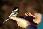 Feeding wild Black-capped chicadee by hand. Parus atricapillus songbird song bird