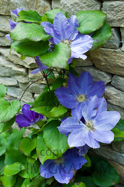 Blue clematis flowering shrub in English cottage garden in Swinbrook in The Cotswolds, Oxfordshire, UK