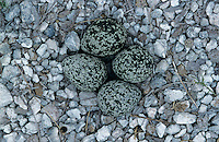 Killdeer, Charadrius vociferus, eggs in nest camouflaged, Welder Wildlife Refuge, Sinton, Texas, USA, June 2005