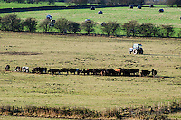 Feeding beef cattle, near Ashover, Derbyshire.