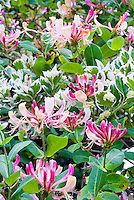 Euonymus fortunei 'Silver Queen', Lonicera periclymenum cv honeysuckle vine