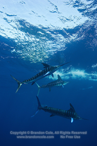 qf2645-D. Striped Marlin (Tetrapturus audax), feeding on Pacific Sardines (Sardinops sagax). Baja, Mexico, Pacific Ocean..Photo Copyright © Brandon Cole. All rights reserved worldwide.  www.brandoncole.com..This photo is NOT free. It is NOT in the public domain. This photo is a Copyrighted Work, registered with the US Copyright Office. .Rights to reproduction of photograph granted only upon payment in full of agreed upon licensing fee. Any use of this photo prior to such payment is an infringement of copyright and punishable by fines up to  $150,000 USD...Brandon Cole.MARINE PHOTOGRAPHY.http://www.brandoncole.com.email: brandoncole@msn.com.4917 N. Boeing Rd..Spokane Valley, WA  99206  USA.tel: 509-535-3489