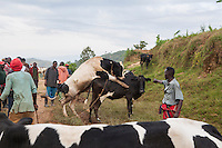 """You should look for a  small bull. The way  i see you you wont have food  to feed the calf. No I am looking for a big bull. Leave this one alone. he is clearly not courageous enough for my cow."" -Conversation overheard at the cattle auction.  Cattle are sold on the road before they reach the auction site in Kivuruga, Rwanda. Photo by  Brendan Bannon. March 5, 2014"