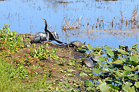 Florida Cooter Turtles sharing space with an Anhinga. Photographed at Arthur Marshall Loxahatchee Preserve, Boynton Beach, Florida.