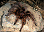 Tarantula, Curly & Red Rump Cross Hybrid, 2nd generation, Brachypelma albopilosa x vagans....