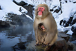 Japanese Macaque, Macaca, fuscata, adult with baby by hot spring water, Jigokudani National Park, Nagano, Honshu, Asia, primates, old world monkeys, snow, macaques, behavior, onsen, red face, steam, cuddles, cuddling, nurture.Japan.Animal.Atmospheric.Behaviour.Evocative.Mammals.Nature.Season - Winter.Wildlife.Weather.Coldness.Conceptional.Cute.Nature reserve.Emotional.Love.Nurturing.Mountain.Isolate.Tranquility.Bonding.Caring.Mammals.P-MAM259-26.Robert Pickett.www.papiliophotos.com  Tel: +44 (0)1227 360996.PLEASE READ OUR LICENCE TERMS. ALL DIGITAL IMAGES MUST BE DESTROYED UNLESS OTHERWISE AGREED IN WRITING..