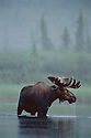Moose standing in lake near Dalton Highway, Brooks Range, Alaska