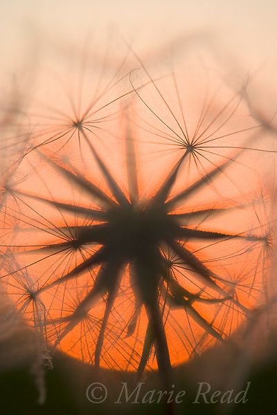 Goatsbeard seedhead with setting sun, New York, USA