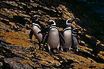A group of Magellanic penguins on Carcass Island in the Falkland Islands.
