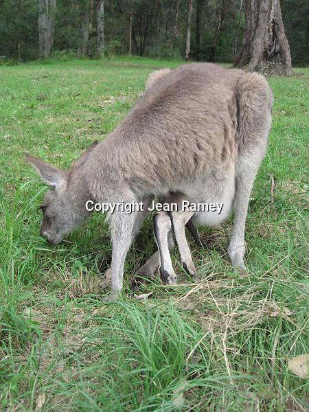 Mother kangaroo with joey, Australia