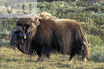 Muskox ,Ovibos moschatus, bull, Greenland