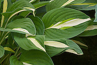 Hosta 'Risky Business wide green edge margin and white center, perennial shade garden foliage plant