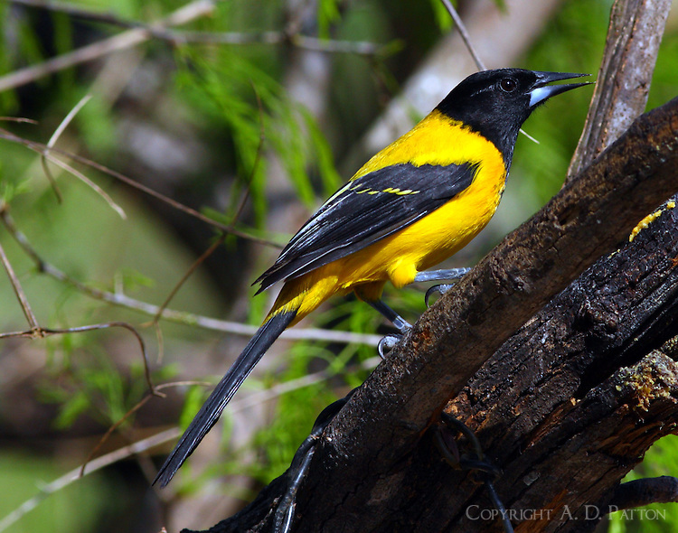 Audubon's oriole adult