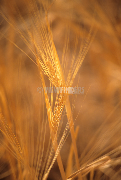 Close-up detail of golden wheat in a field.