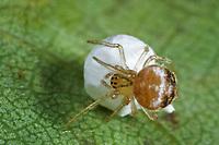 Zwerg-Kugelspinne, Zwergkugelspinne, Blasse Kugelspinne, Kokon, Paidiscura pallens, Theridion pallens, Haubennetzspinnen, Theridiidae, Comb Footed Spiders