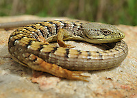 Southern Alligator Lizard.Elgaria multicarinata.Near San Diego.