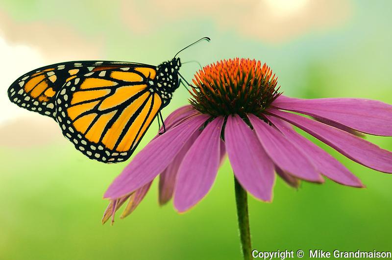 Monarch butterfly on Echinacea flower (purple coneflower)<br /> Bala<br /> Ontario<br /> Canada